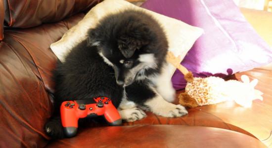 Det gäller att passa på och spela när valpen är trött - när Tifa är vaken hittar hon nämligen på alldeles för mycket bus för att husse ska kunna koncentrera sig på spelande.